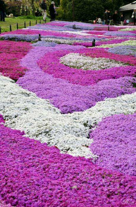 Цветочные ковры Shibazakura