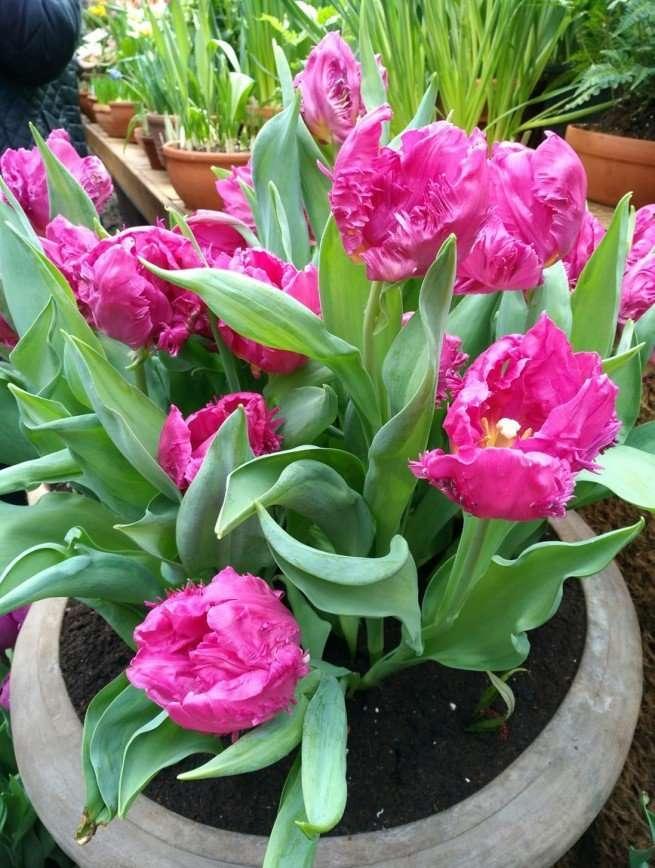 Репетиция весны: в Ботаническом саду зацвели тюльпаны